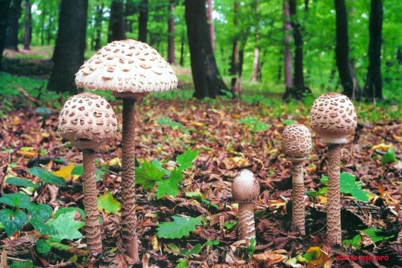 гриб курник фото и описание сезон горах лагонаки