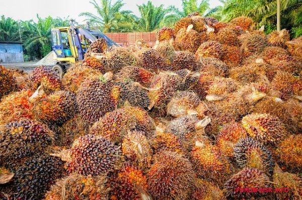 chem-opasno-palmovoe-maslo-dlya-organizma_2.jpg